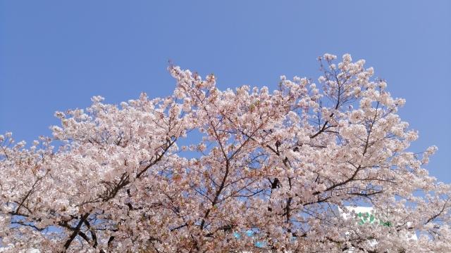 桜 20190400002