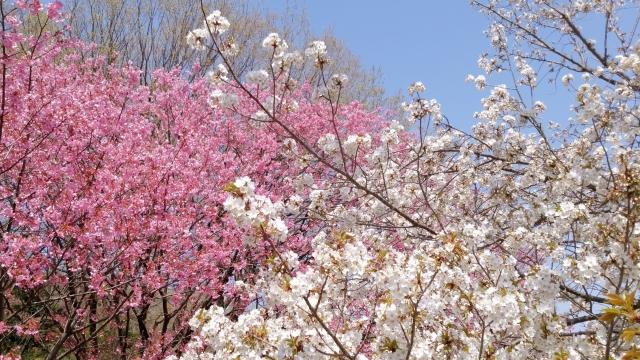 桜 20190400004