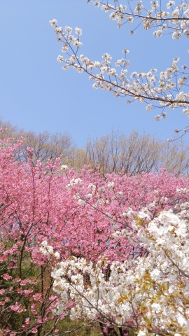 桜 20190400006