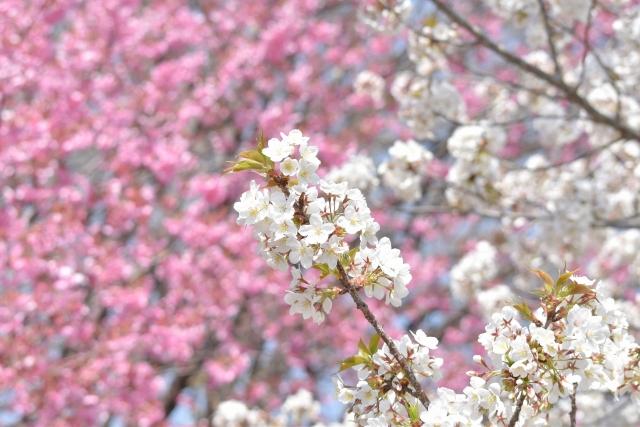 桜 20190400008