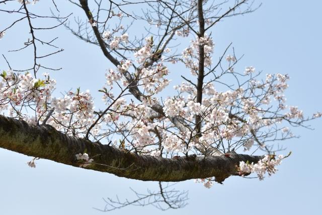 桜 20190400010