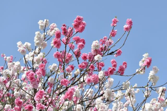 桜 20190400012