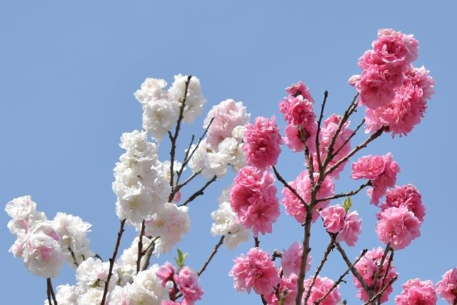 桜 20190400013