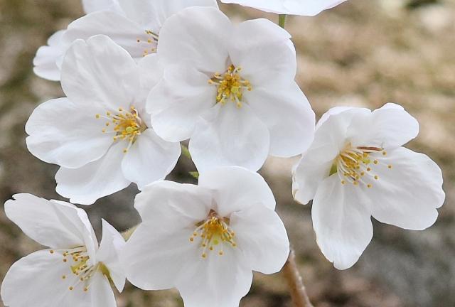 桜 20190400015