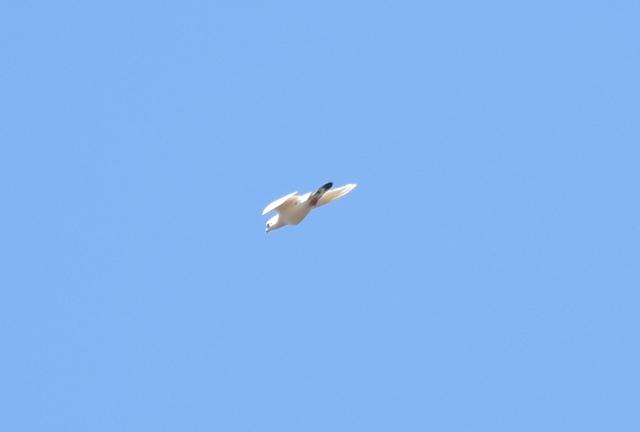 幸運の白い鳥?201905040002