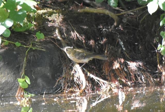 キビタキ幼鳥能代風の松原201908160002