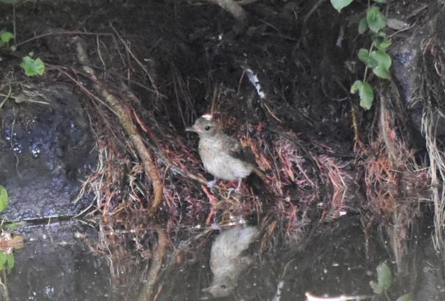 キビタキ幼鳥能代風の松原201908160006