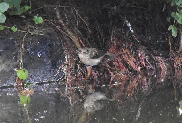 キビタキ幼鳥能代風の松原201908160008