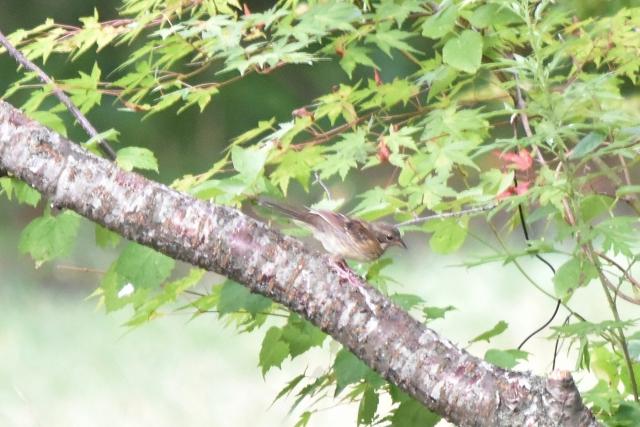ホオジロ幼鳥 風の松原20190816002