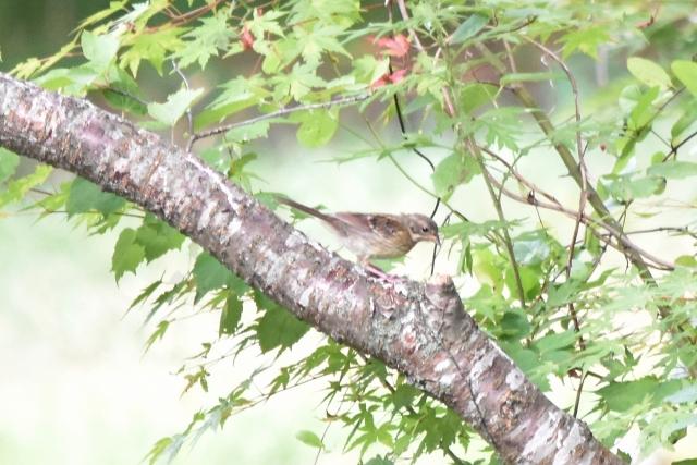 ホオジロ幼鳥 風の松原201908160023