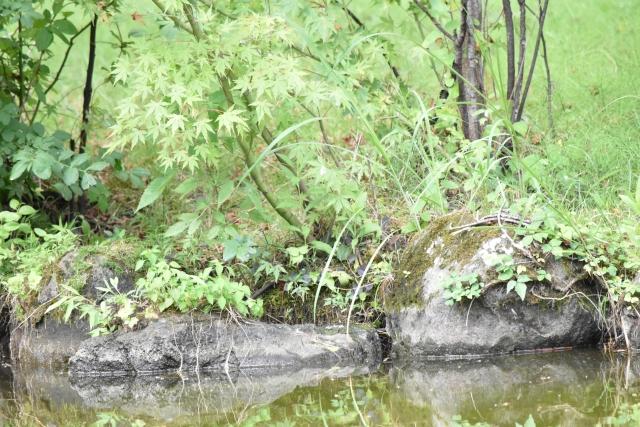 アオジ 風の松原201908160001