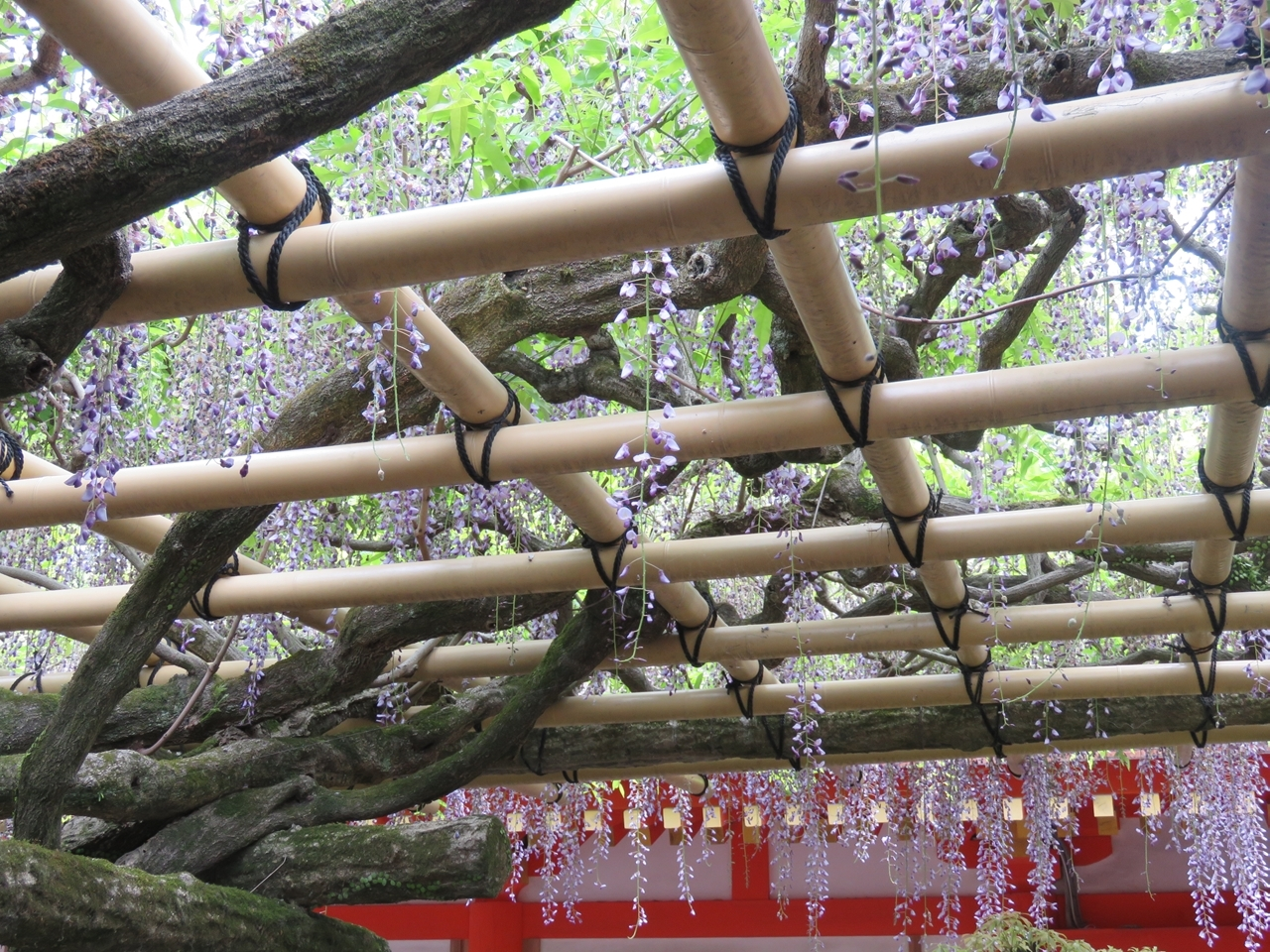 s-春日大社砂づりのフジ 奈良公園190505