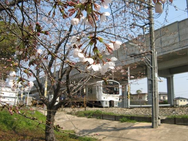 811系と桜