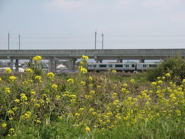 菜の花と817系