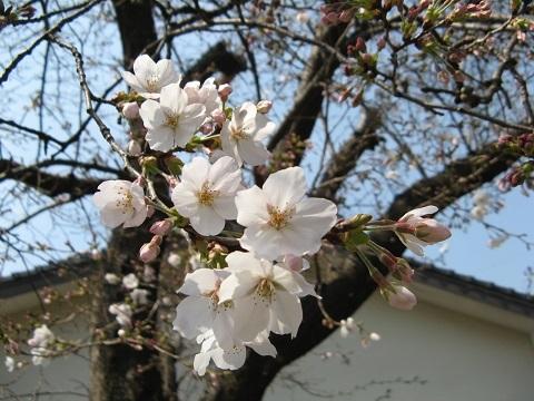 桜2019