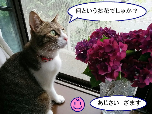 ajisai-chiko3.jpg