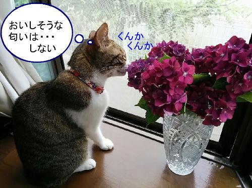 ajisai-chiko4.jpg