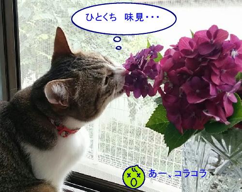 ajisai-chiko5.jpg
