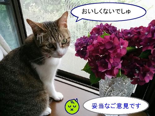 ajisai-chiko6.jpg