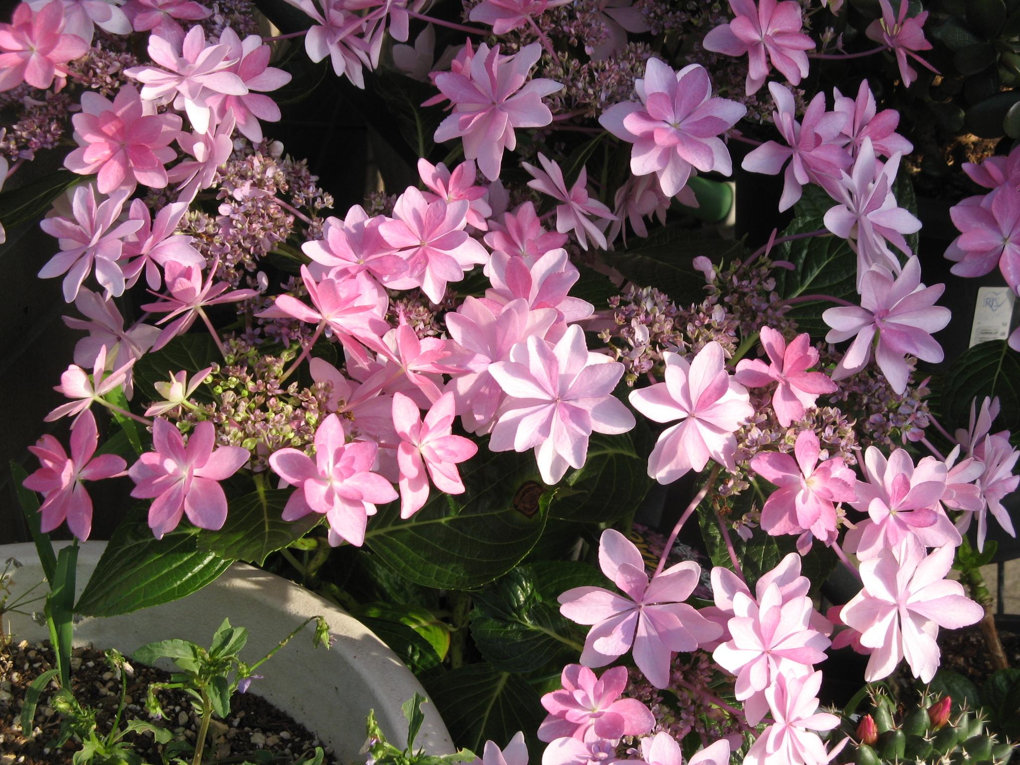 紫陽花フリー写真