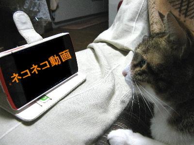 スマホ見る猫