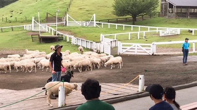 羊ショー③