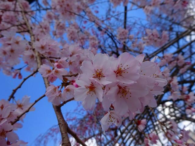 19,4,3平野神社 (7)
