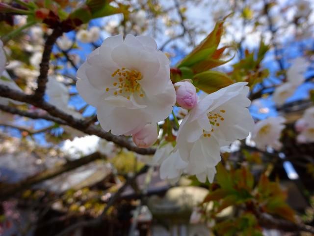 19,4,3平野神社 (12)