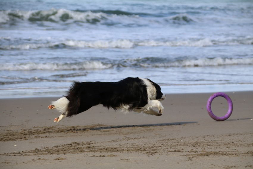 砂浜飛行犬