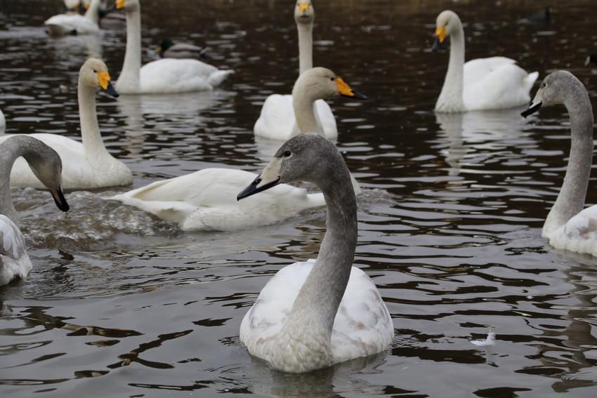 長嶺大池の白鳥