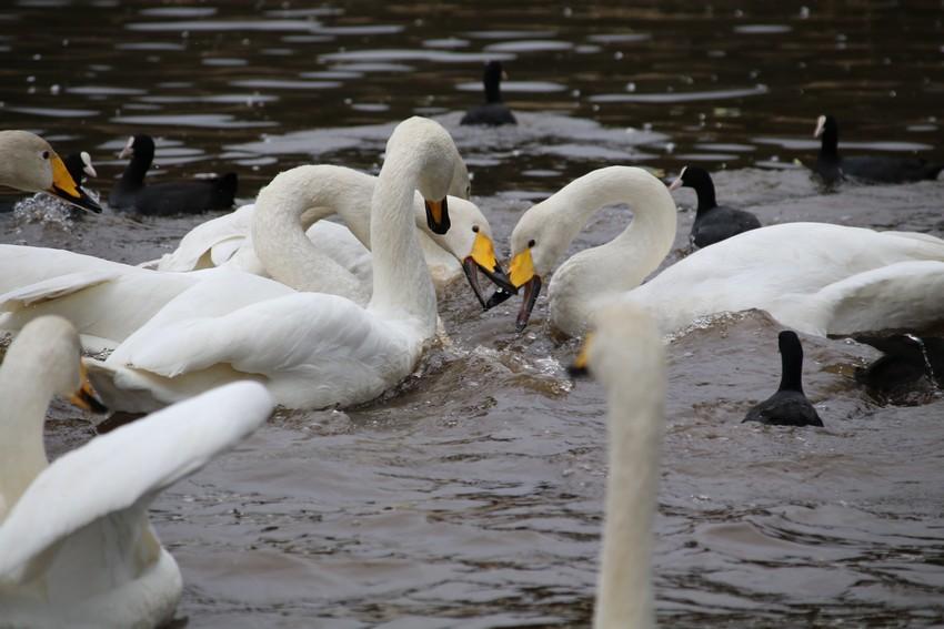 長嶺大池の白鳥・食パン1枚争奪戦