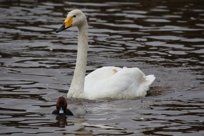 背中にパンを乗せた白鳥