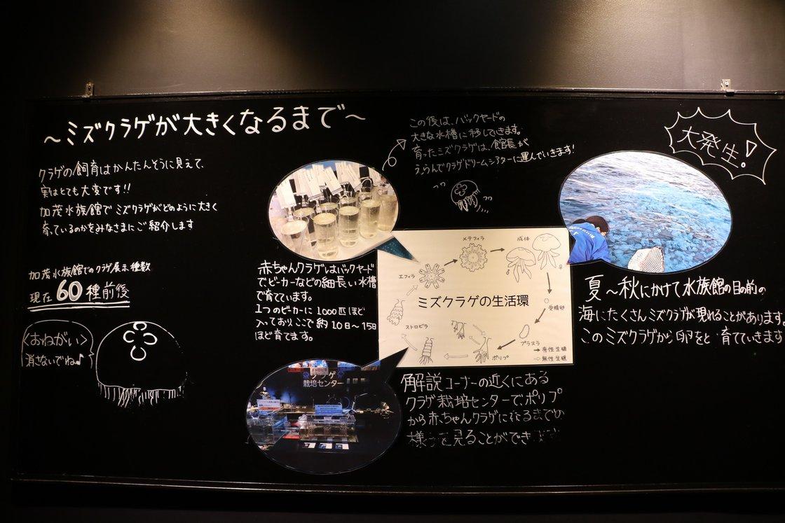 館内に展示のクラゲ生活環