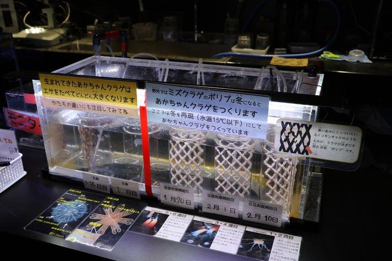 クラゲ解説コーナーの展示
