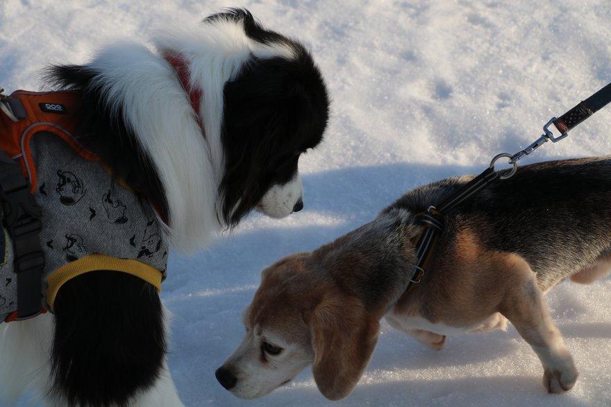 ビーグル犬に出会う