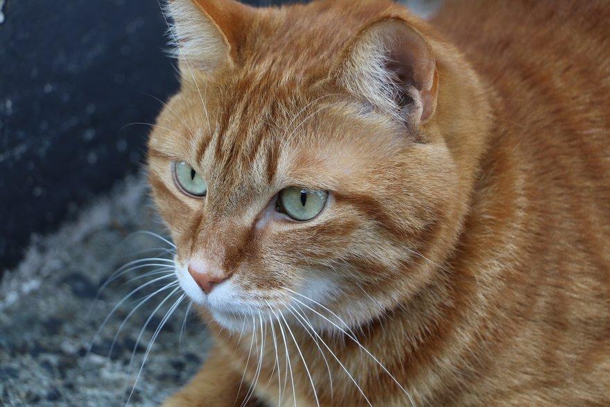村上町屋の人形さま巡りで出会った猫