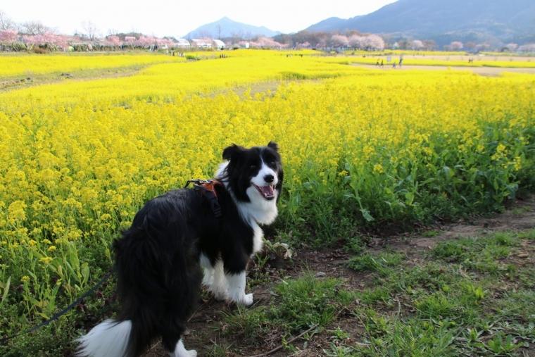 日陰の菜の花とDawn太