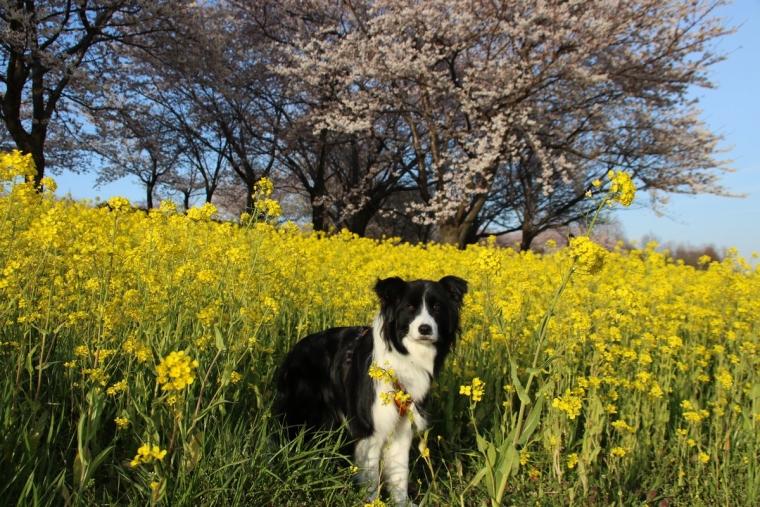 Dawn太と桜と菜の花