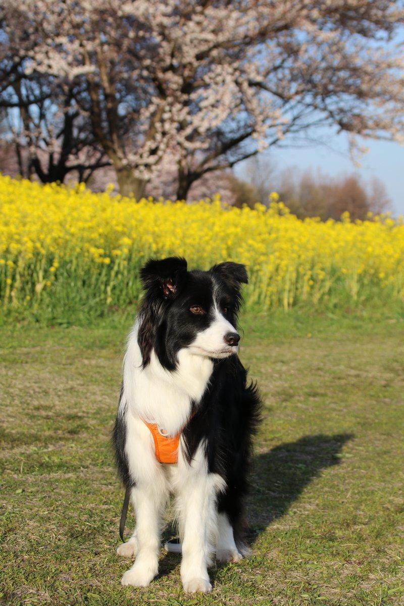 Dawn太と菜の花と桜