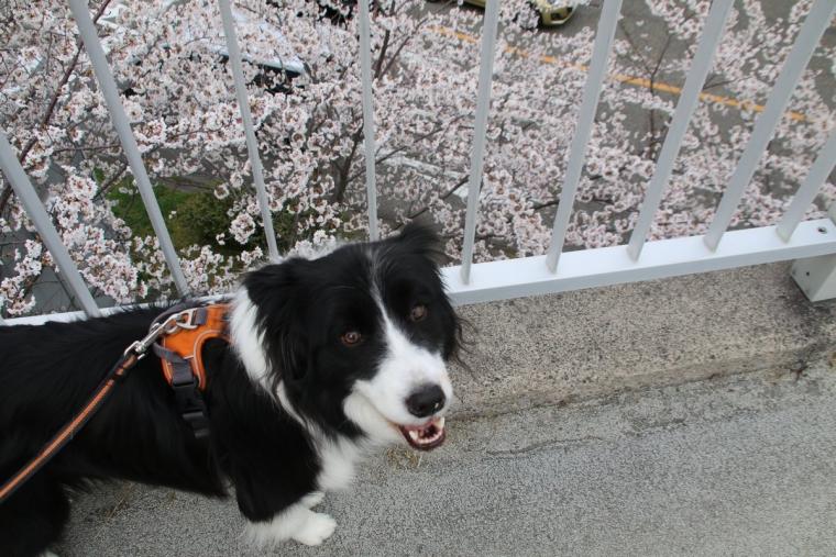どう?桜綺麗?