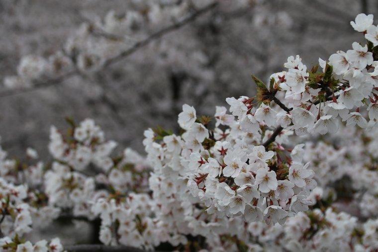 桜の花が近い