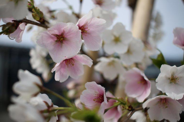 瓦テラスに咲く結桜
