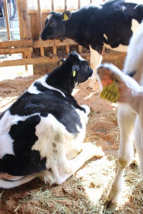 動かない牛