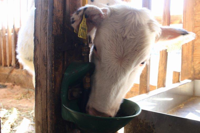 水を飲む牛