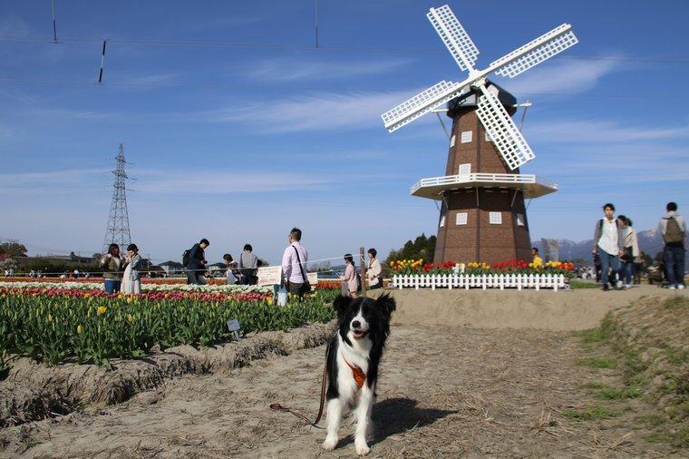 Dawn太とチューリップ会場の風車