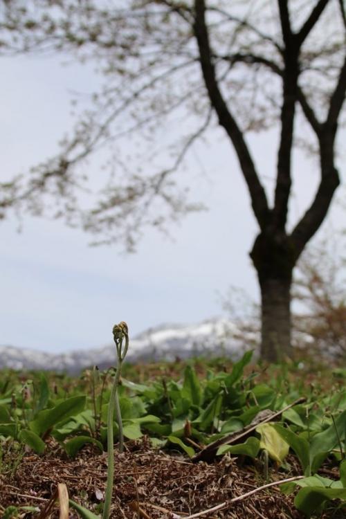 ワラビと粟ヶ岳