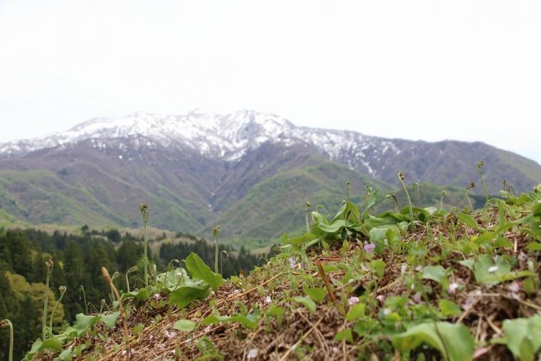 粟ヶ岳とワラビ