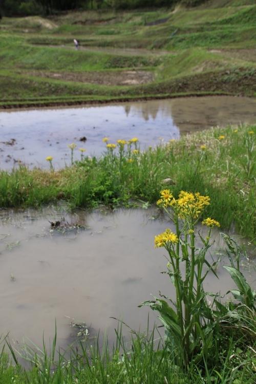 棚田に咲く花