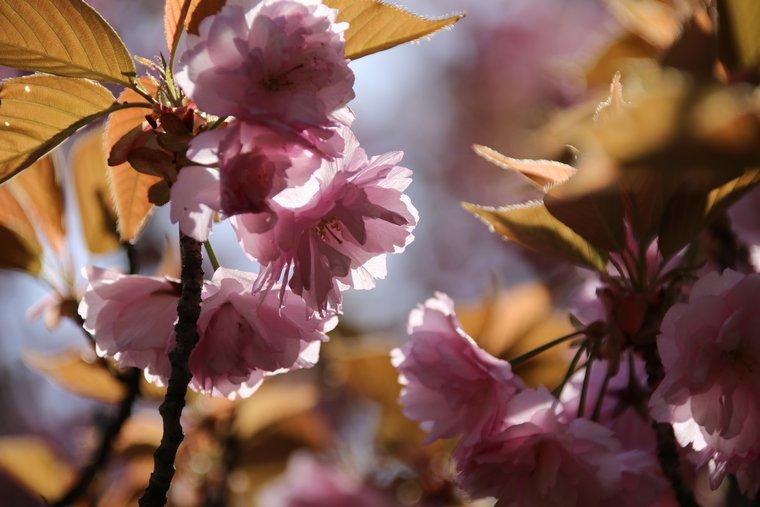 八重桜 開山