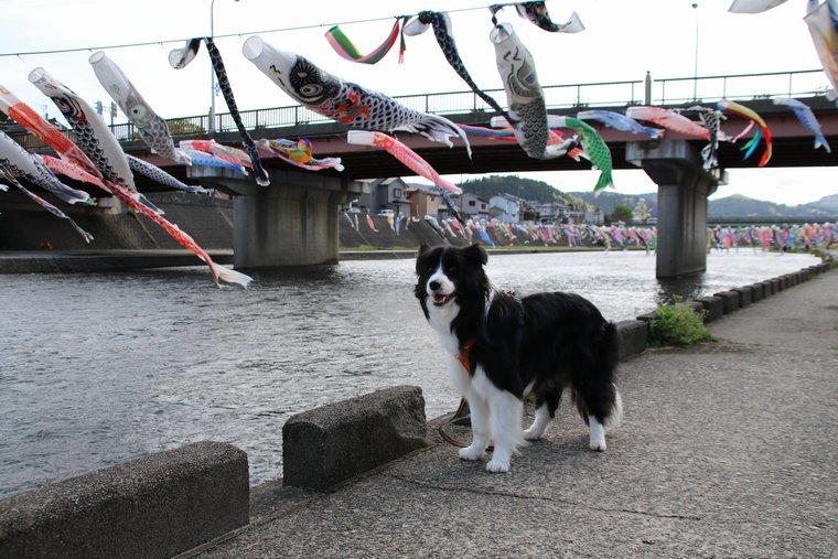 Dawn太と加茂川の鯉のぼり